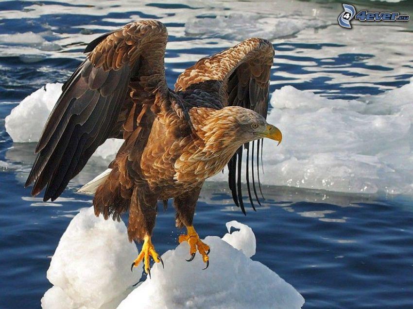 águila, hielo