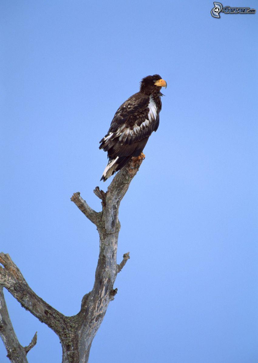 águila, madera