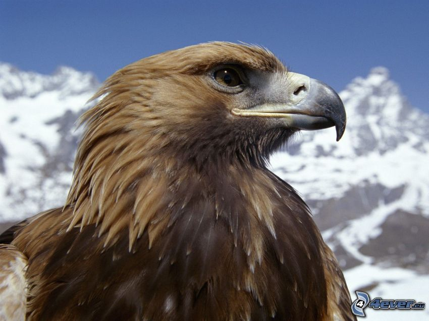 águila, montañas nevadas