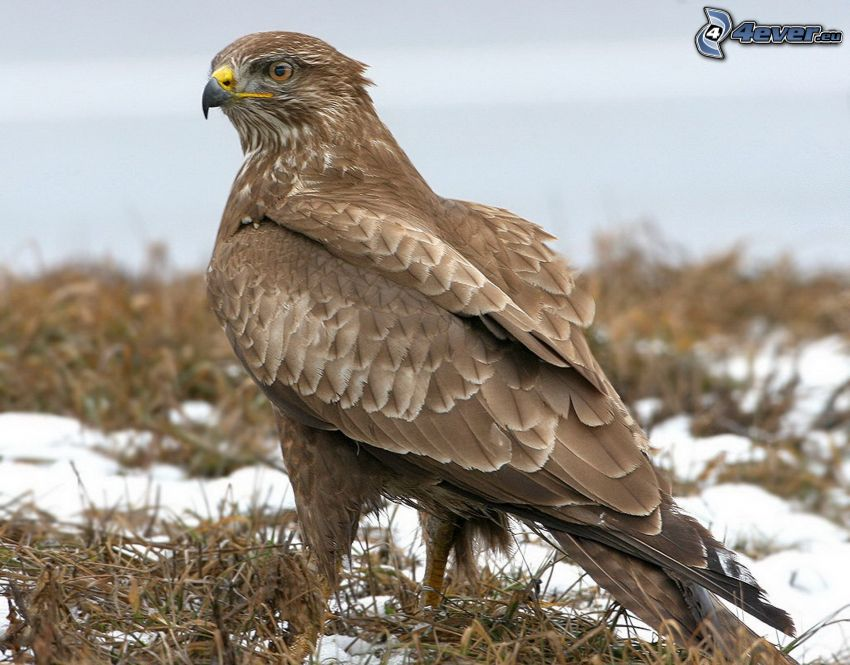 águila, nieve