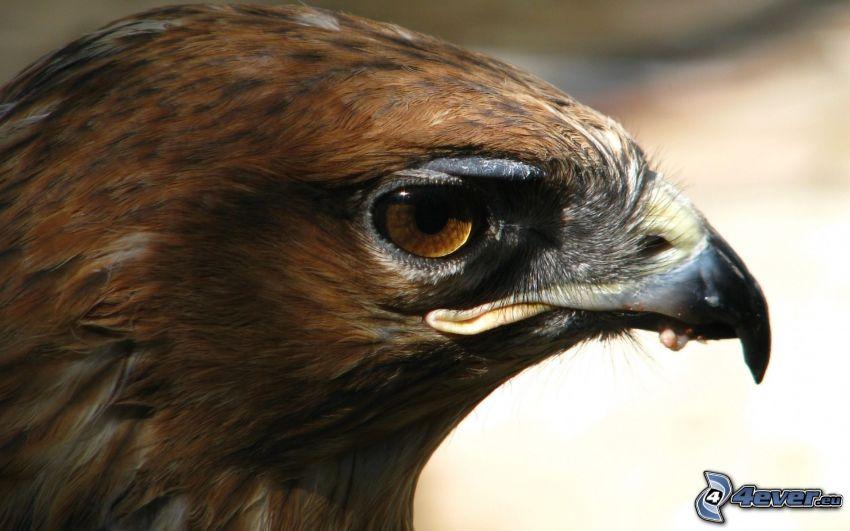 águila, ojo, pico