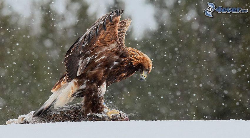 águila, presa, nieve