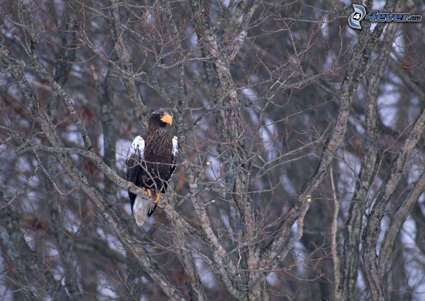 águila, ramas