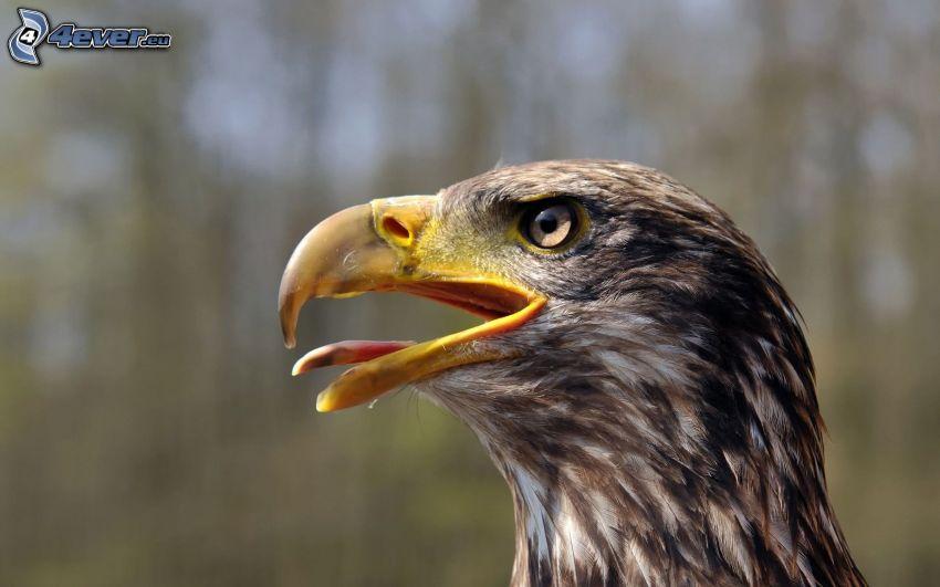 águila, sacar la lengua