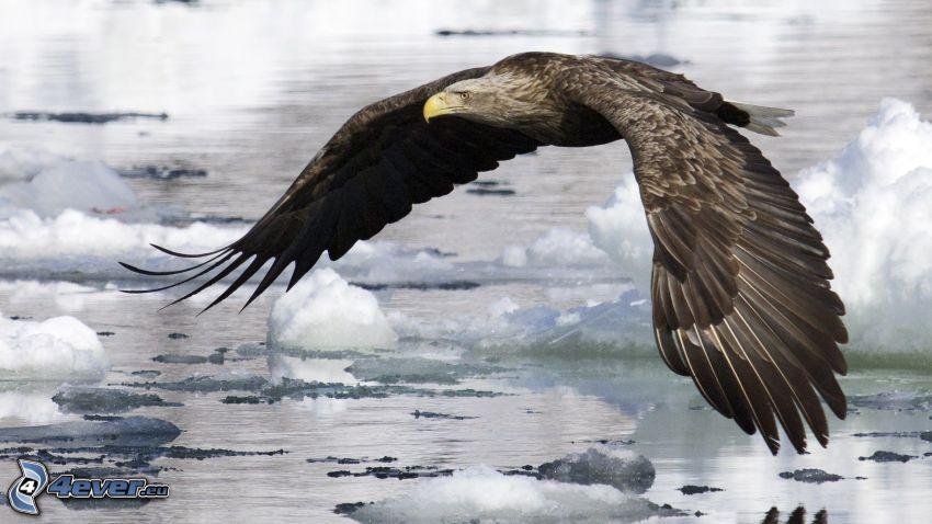 águila, témpanos de hielo