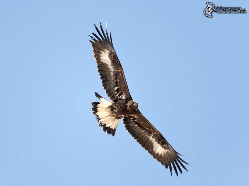 águila, vuelo, alas, cielo azul