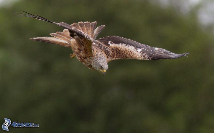 águila, vuelo, alas
