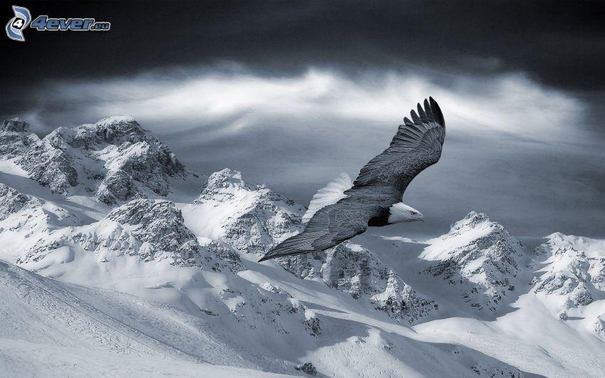 águila, vuelo, montañas nevadas