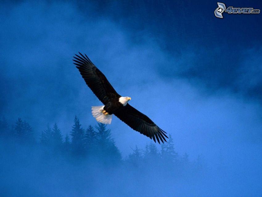águila, vuelo, niebla, árboles coníferos