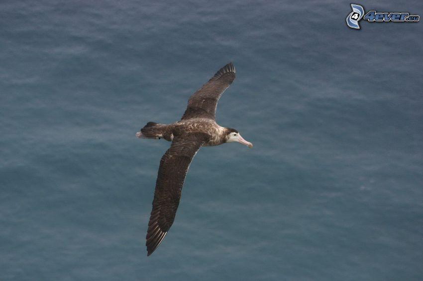 albatros, vuelo, agua