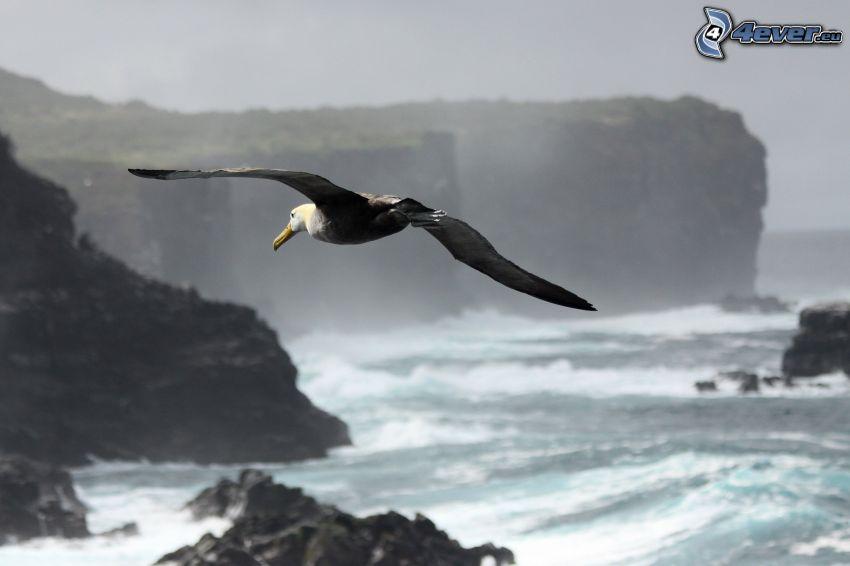 albatros, vuelo, costa rocosa