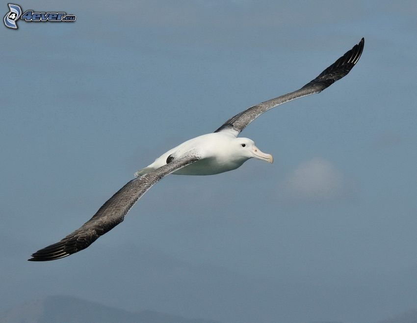 albatros, vuelo