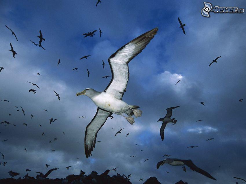 albatroses, vuelo, nubes