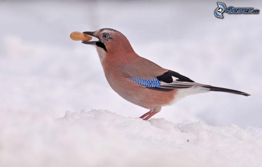 arrendajo, cacahuates, nieve