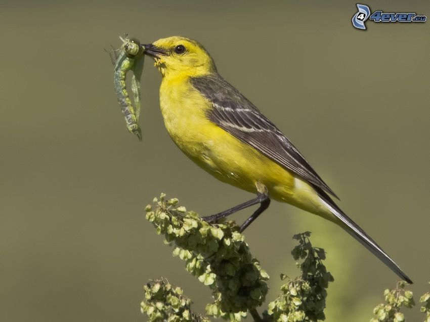 ave amarillo, insecto, flores blancas