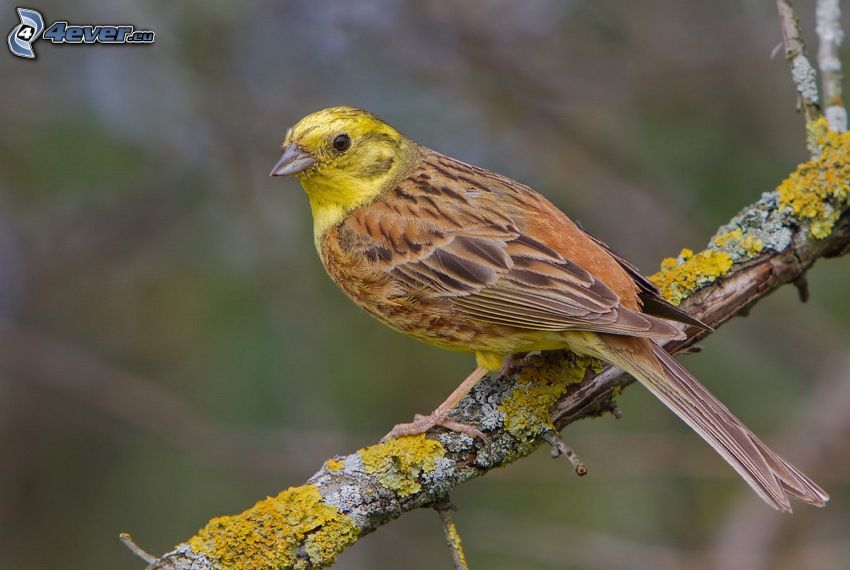 ave amarillo, ramita