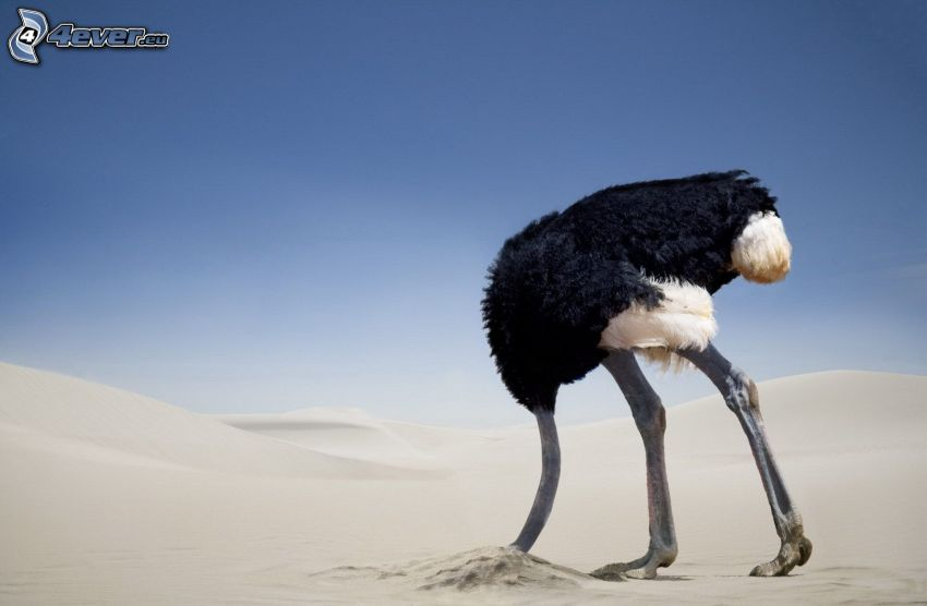 avestruz, arena