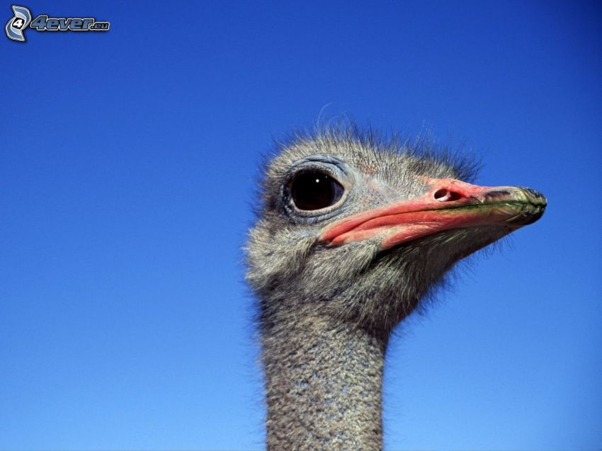 avestruz, cabeza, cielo azul