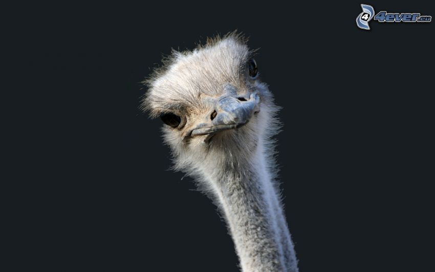 avestruz, cabeza
