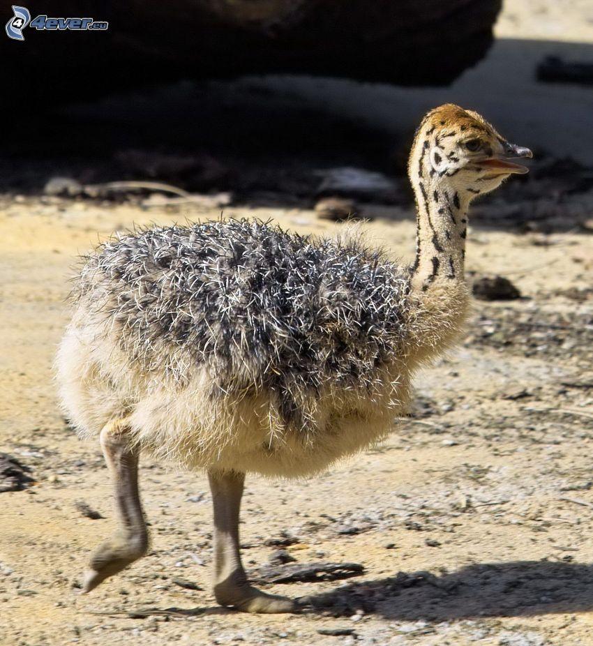 avestruz, cachorro
