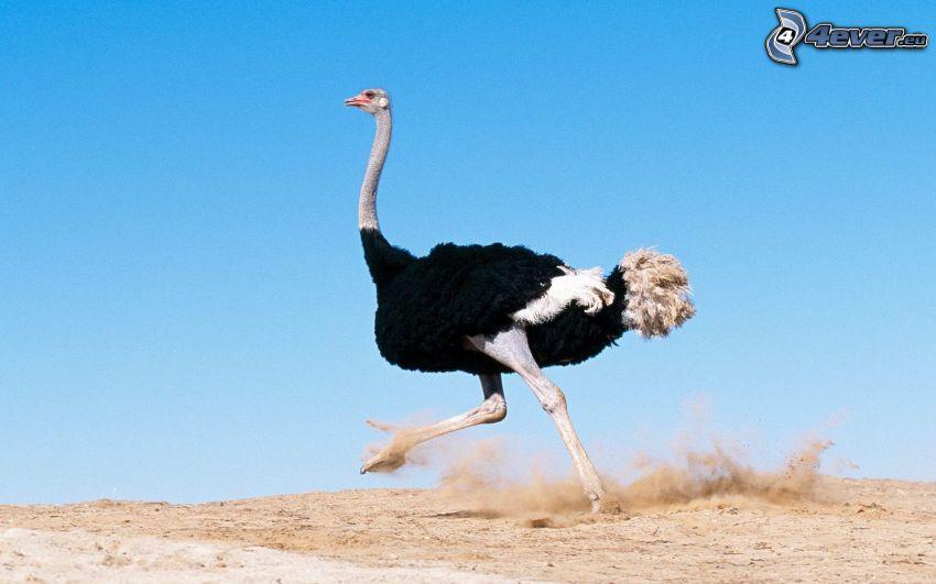 avestruz, carrera, polvo