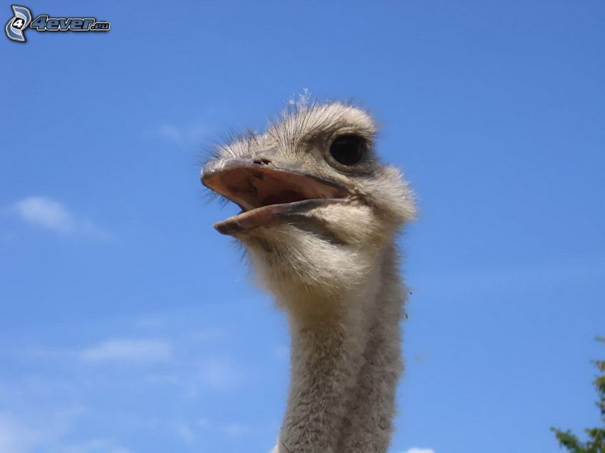 avestruz, cielo azul