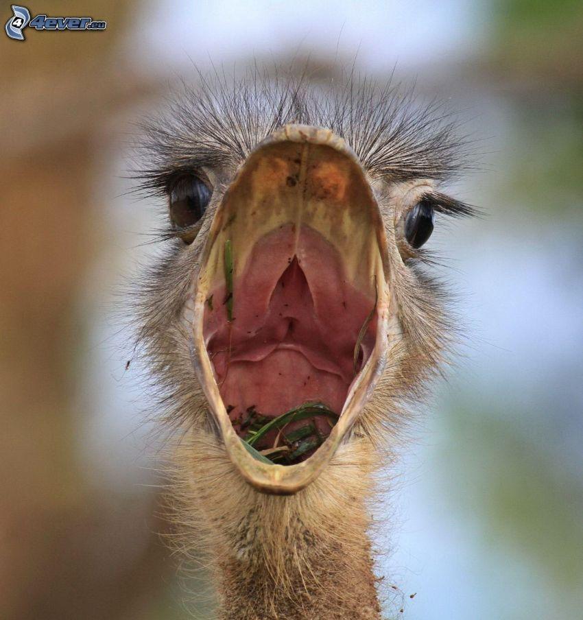 avestruz, pico, alimento