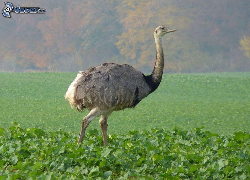 avestruz, plantas