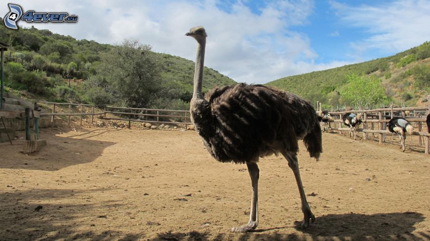 avestruz, valla