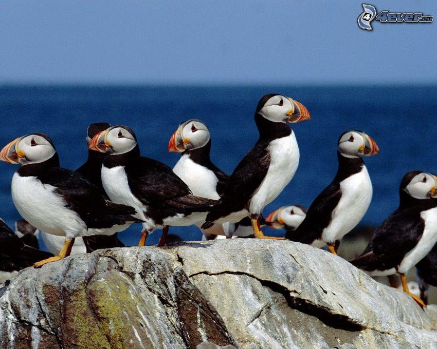 bandada de pájaros, Fratercula arctica, roca