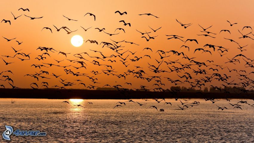 bandada de pájaros, lago