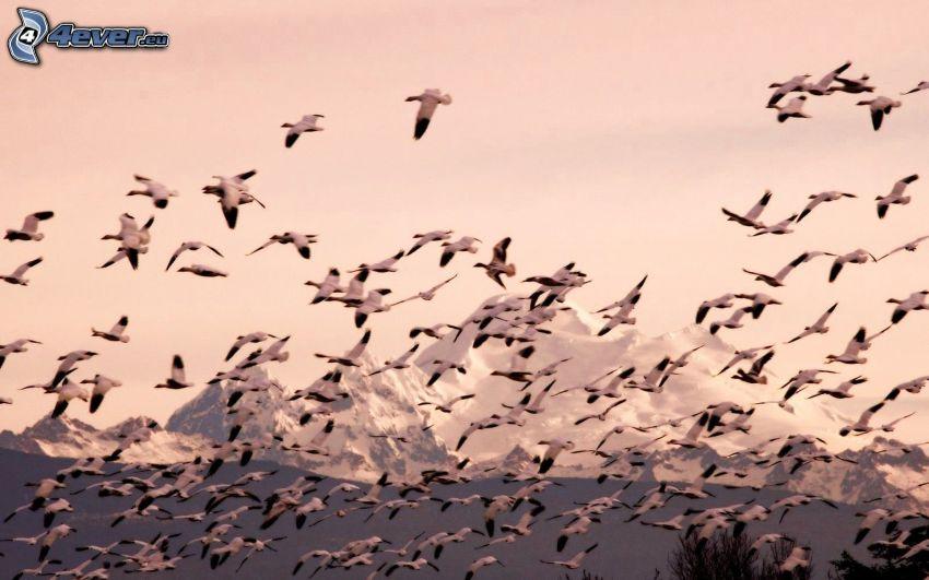 bandada de pájaros, vuelo