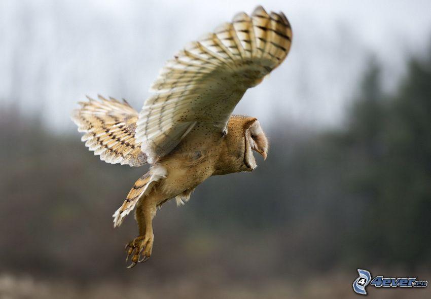 búho, alas, vuelo