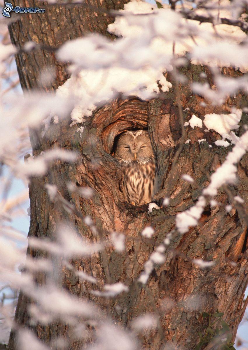 búho, dormir, tribu, nieve