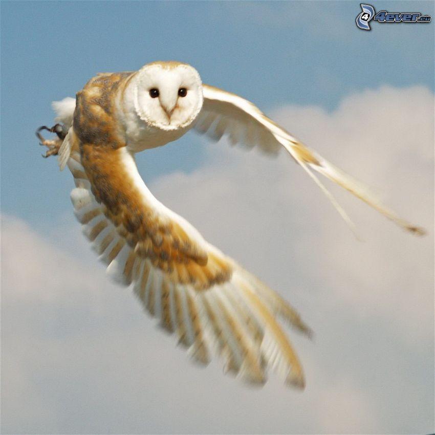 búho, vuelo, alas