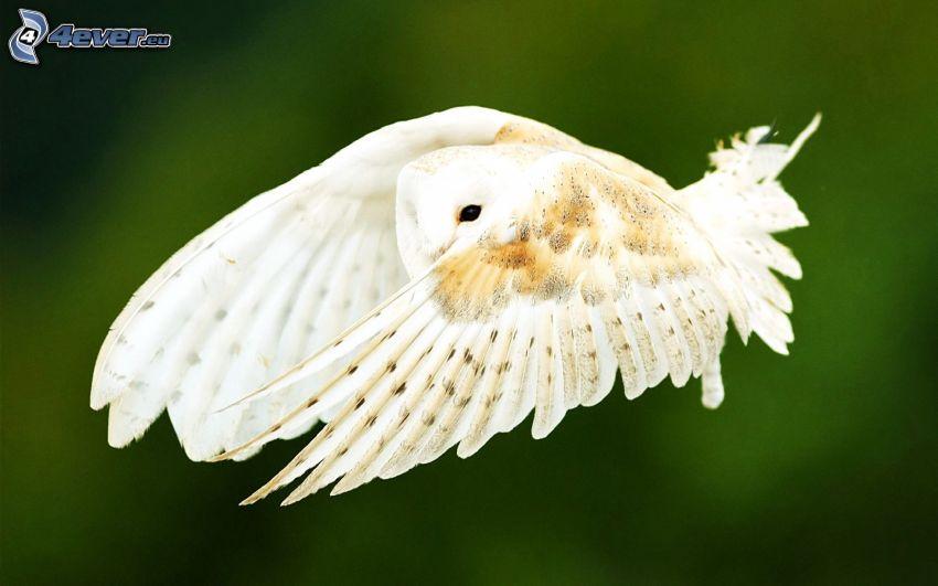 búho, vuelo