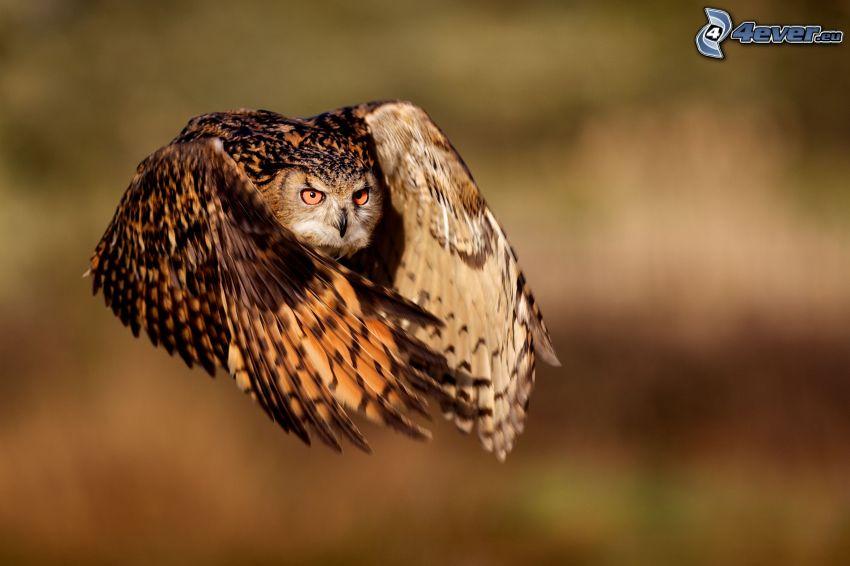 buho marrón, vuelo