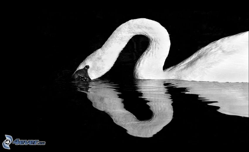 cisne, agua, blanco y negro