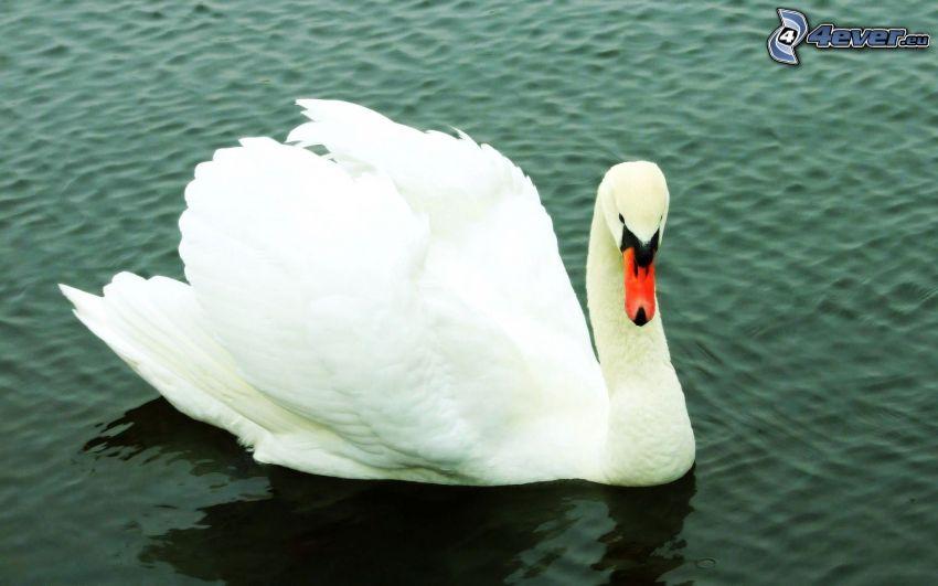 cisne, agua