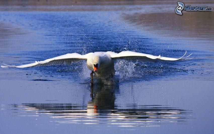 cisne, alas, agua