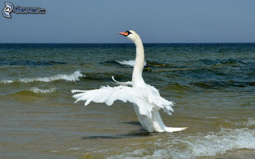 cisne, alas, mar
