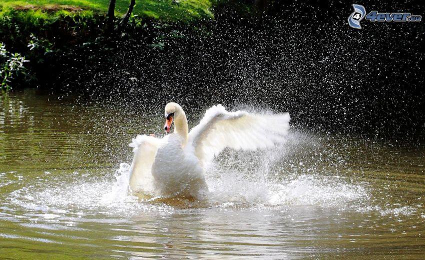 cisne, aterrizaje, alas, agua