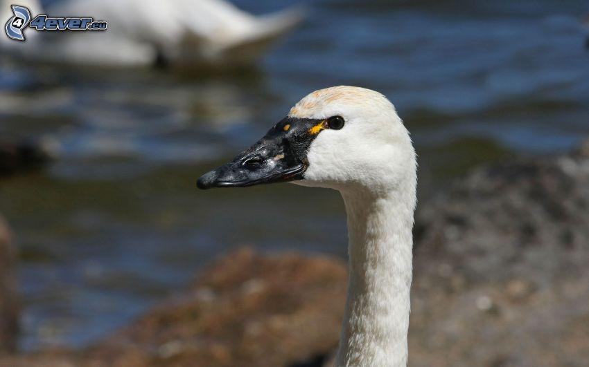 cisne, cabeza, cuello