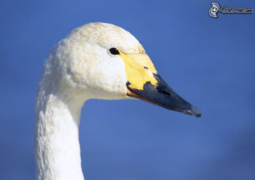 cisne, cabeza