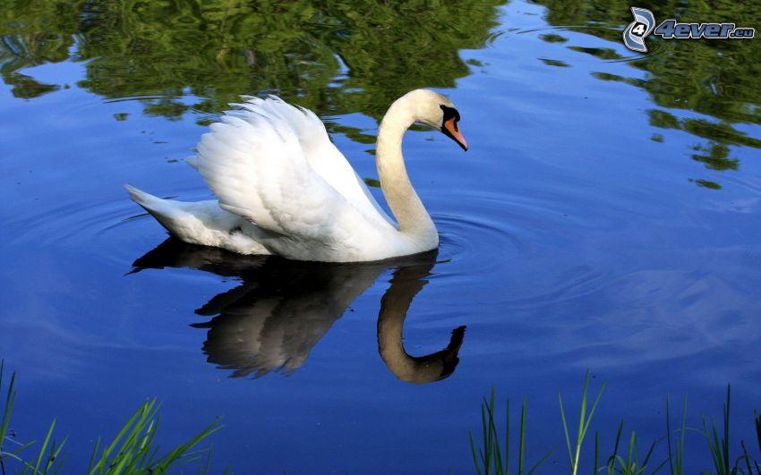 cisne, lago, agua