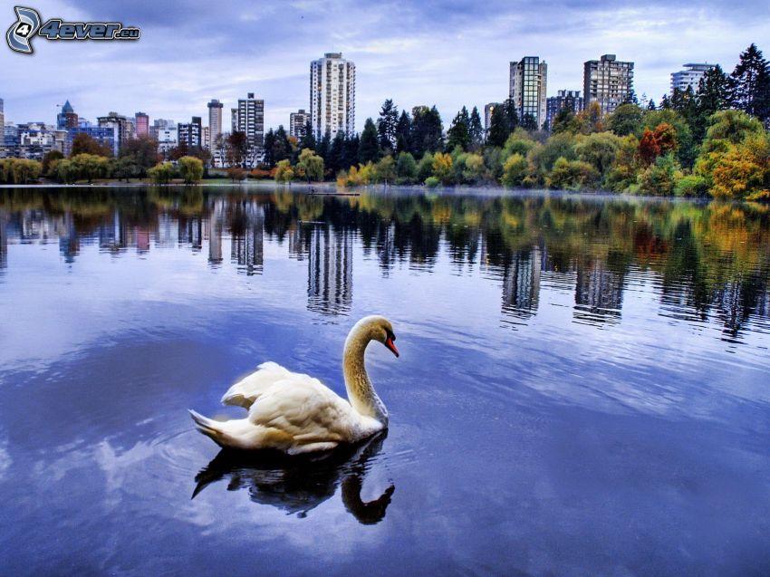 cisne, lago, bloque de pisos, árboles de colores