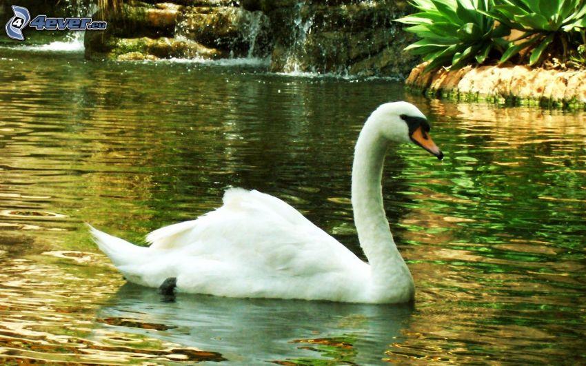 cisne, lago