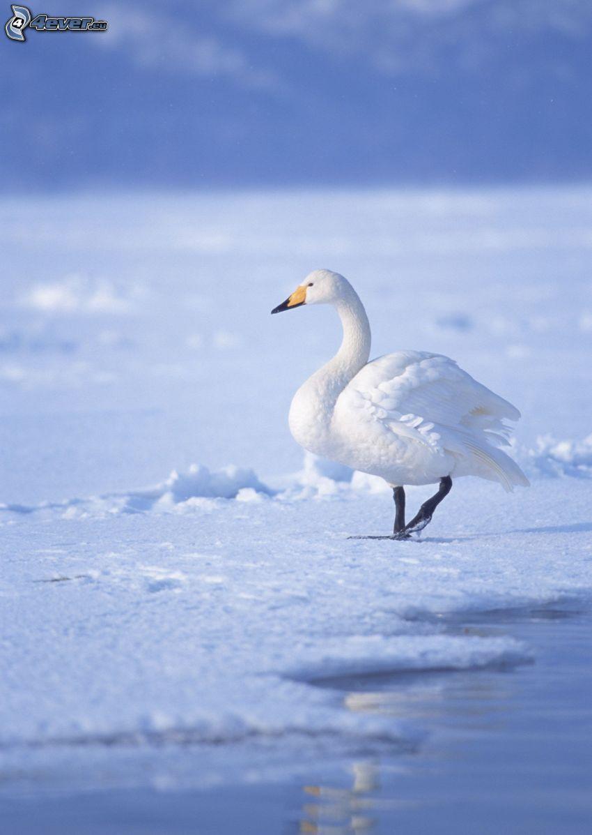 cisne, nieve