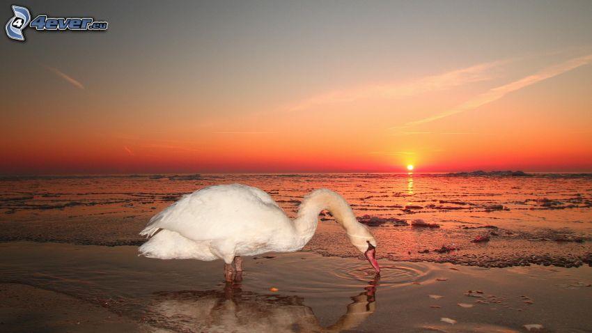 cisne, puesta de sol anaranjada, lago