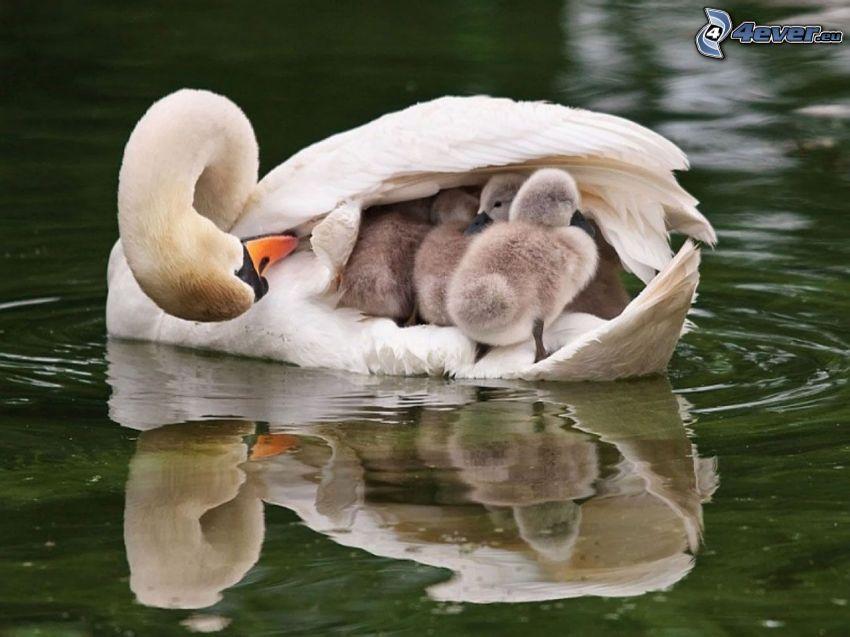 cisne y cachorros, agua, lago